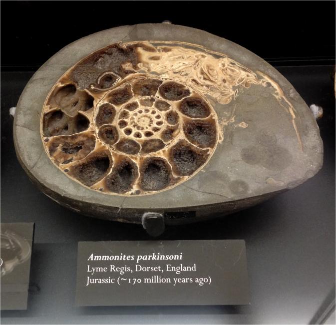 Ammonites - Photo G-Paz-y-Mino-C Beneski Museum 2015