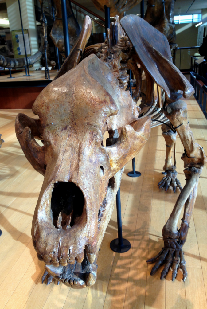 Cave Bear - Photo G-Paz-y-Mino-C Beneski Museum 2015