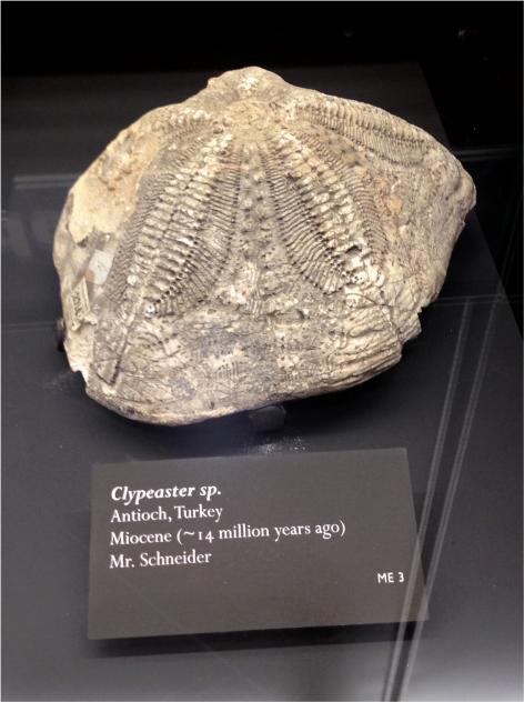 Clypeaster - Photo G-Paz-y-Mino-C Beneski Museum 2015