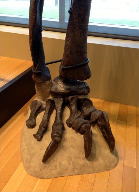 Diplodocus longus - limb - Photo G-Paz-y-Mino-C Beneski Museum 2015