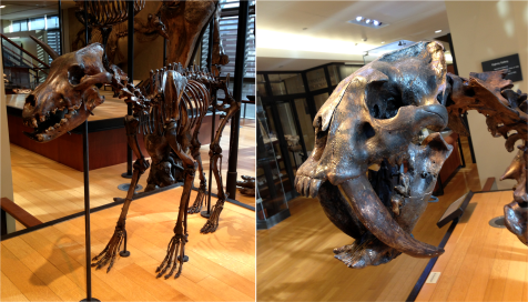 Dire wolf and Sabertoothed Cat - Photo G-Paz-y-Mino-C Beneski Museum 2015