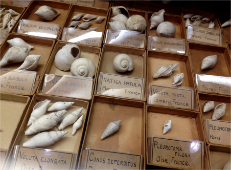Gastropod fossils - Photo G-Paz-y-Mino-C Beneski Museum 2015