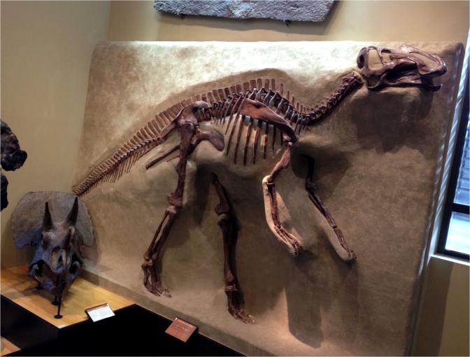 Gryposaurus - Photo G-Paz-y-Mino-C Beneski Museum 2015