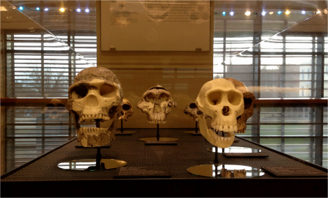 Hominid micro exhibit front view - Photo G-Paz-y-Mino-C Beneski Museum 2015