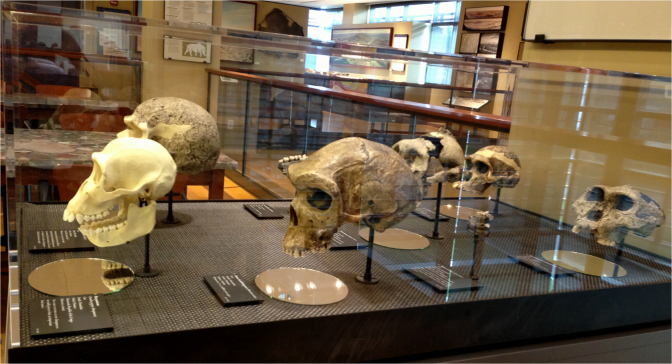 Hominid micro exhibit lateral view - Photo G-Paz-y-Mino-C Beneski Museum 2015