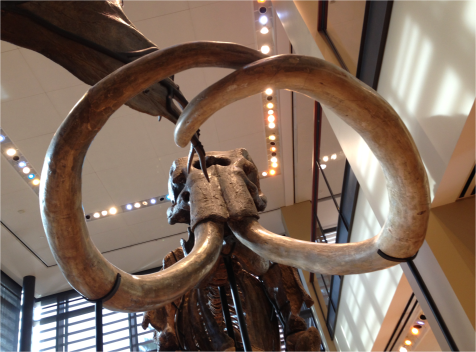 Mammoth close up - Photo G-Paz-y-Mino-C Beneski Museum 2015