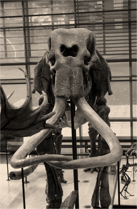 Mammoth frontal view B&W - Photo G-Paz-y-Mino-C Beneski Museum 2015