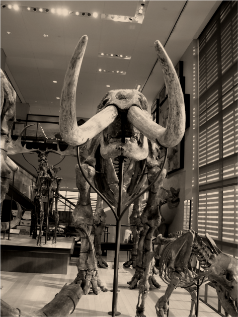 Mastodon frontal view B&W - Photo G-Paz-y-Mino-C Beneski Museum 2015