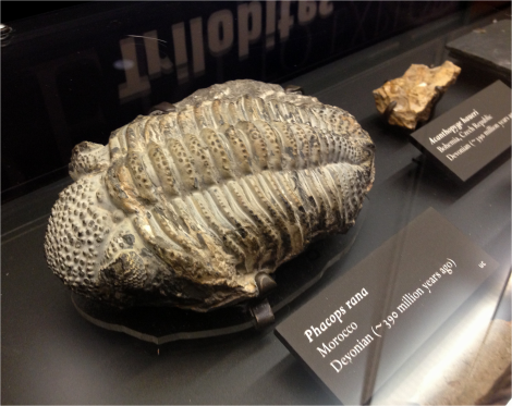 Phacops - trilobite - Photo G-Paz-y-Mino-C Beneski Museum 2015