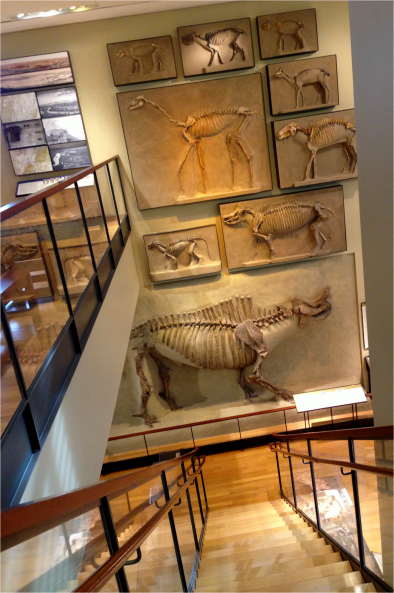 The Ungulate Wall of Fame - Photo G-Paz-y-Mino-C Beneski Museum 2015