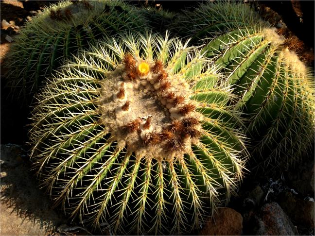 Golden Barrel Cactus close up Koko Bot Garden Oahu - Photo G-Paz-y-Mino-C 2016