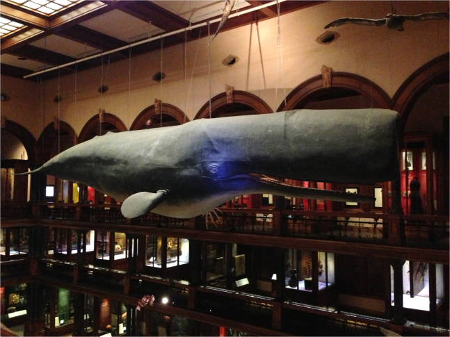Sperm Whale Bishop Museum Honolulu - Photo G-Paz-y-Mino-C 2016