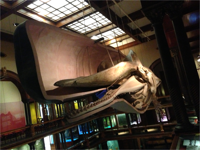 Sperm Whale inside Bishop Museum Honolulu - Photo G-Paz-y-Mino-C 2016