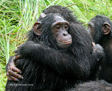 Chimps Hugging by Fernando Turmo
