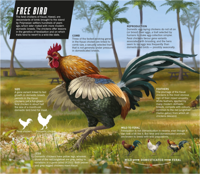 Feral Chickens Hawaii Illustration by Emily Willoughby