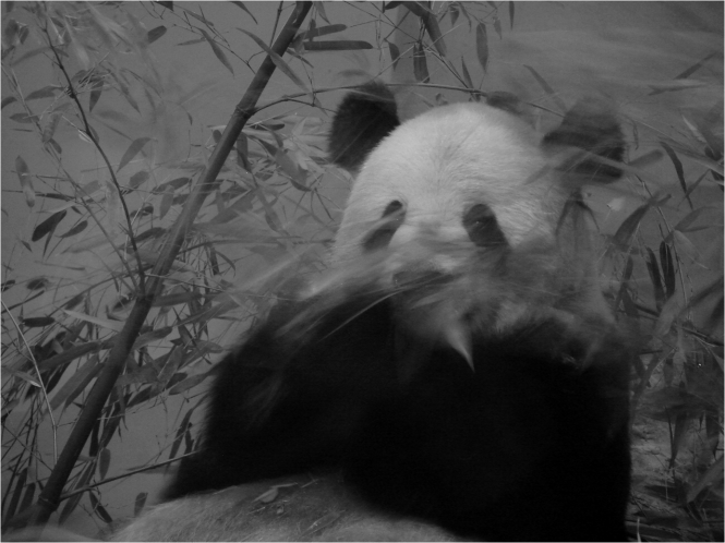 Giant Panda B&W feeding National Zoo Washington DC - Photo G-Paz-y-Mino-C 2016