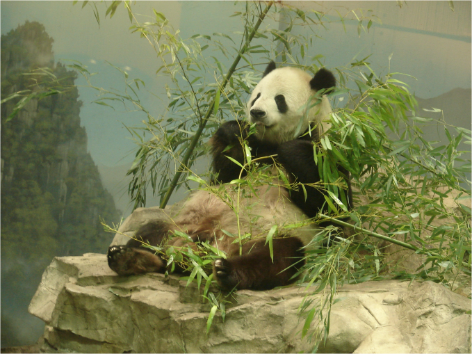 Giant Panda feeding National Zoo Washington DC - Photo G-Paz-y-Mino-C 2016