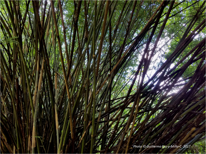 bamboo-at-castleton-botanic-gardens-photo-g-paz-y-minoc-2017