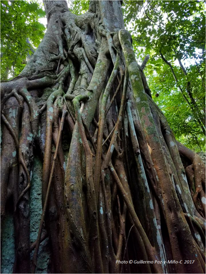 ficus-tree-roots-green-grotto-caves-photo-g-paz-y-mino-c-2017
