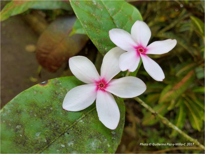 pentamerous-flowers-castleton-botanic-gardens-photo-g-paz-y-mino-c-2017