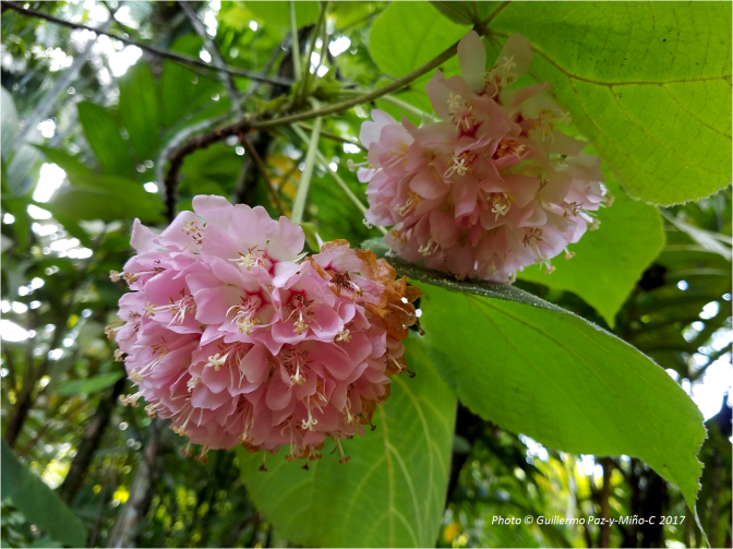 pink-flowers-under-leaves-castleton-botanic-gardens-photo-g-paz-y-mino-c-2017